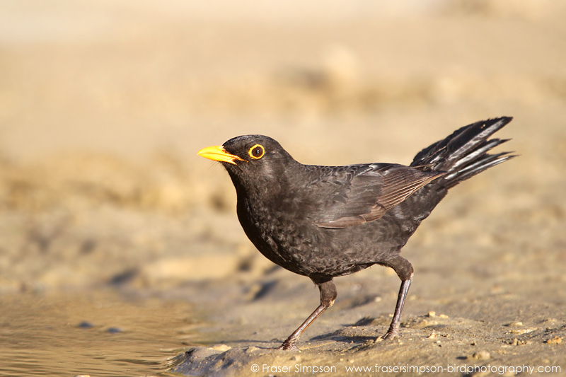 Common Blackbird (Turdus merula) © Fraser Simpson