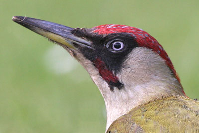 Green Woodpecker (male) © 2005  F. S. Simpson