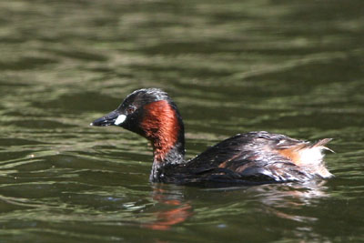 Little Grebe © 2005  F. S. Simpson