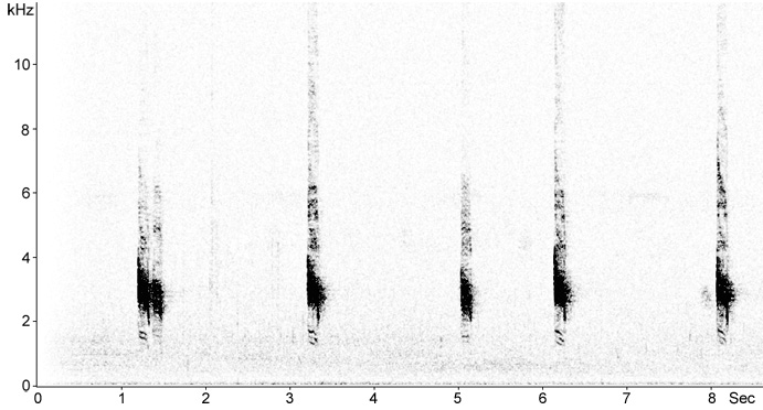 Sonogram of Long-tailed Triller callls