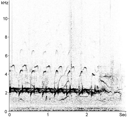 Sonogram of Redshank song