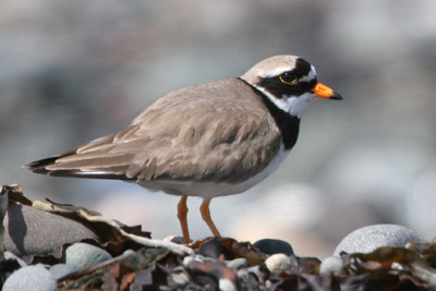 Ringed Plover © 2005  F. S. Simpson