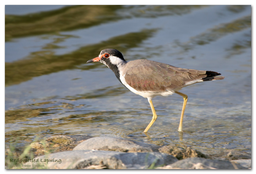 Red-wattled Lapwing, Safa Park � Fraser Simpson
