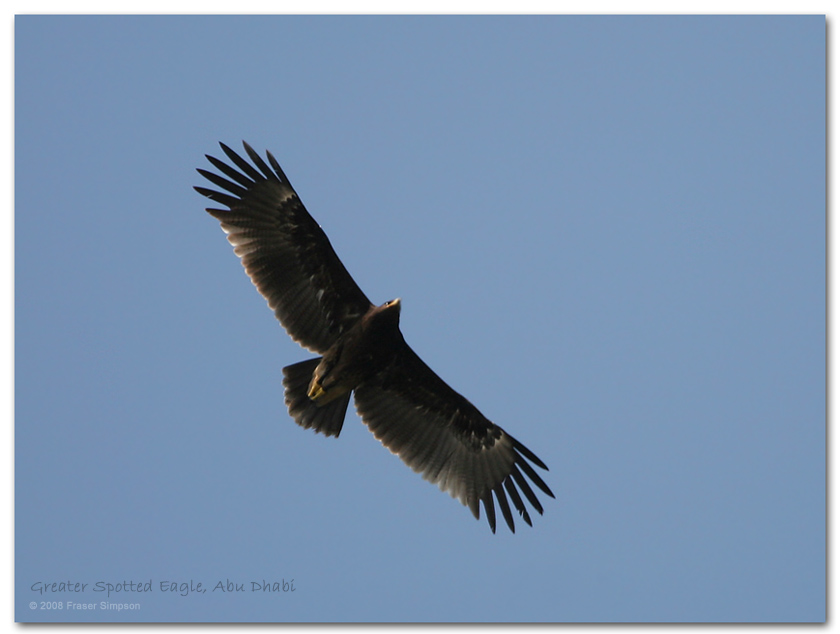 Greater Spotted Eagle, Abu Dhabi � Fraser Simpson